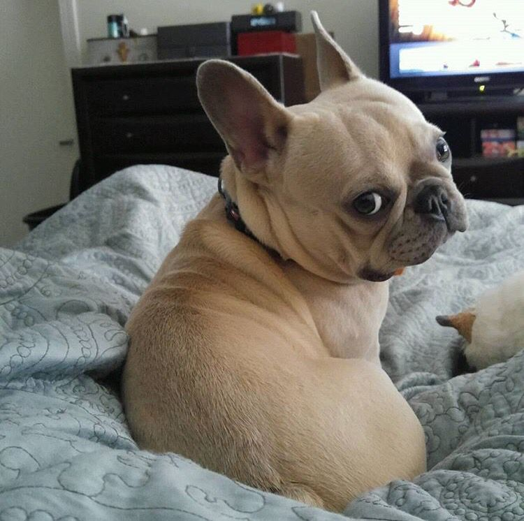 Frenchies Oh How I Love You French Bulldog Puppies