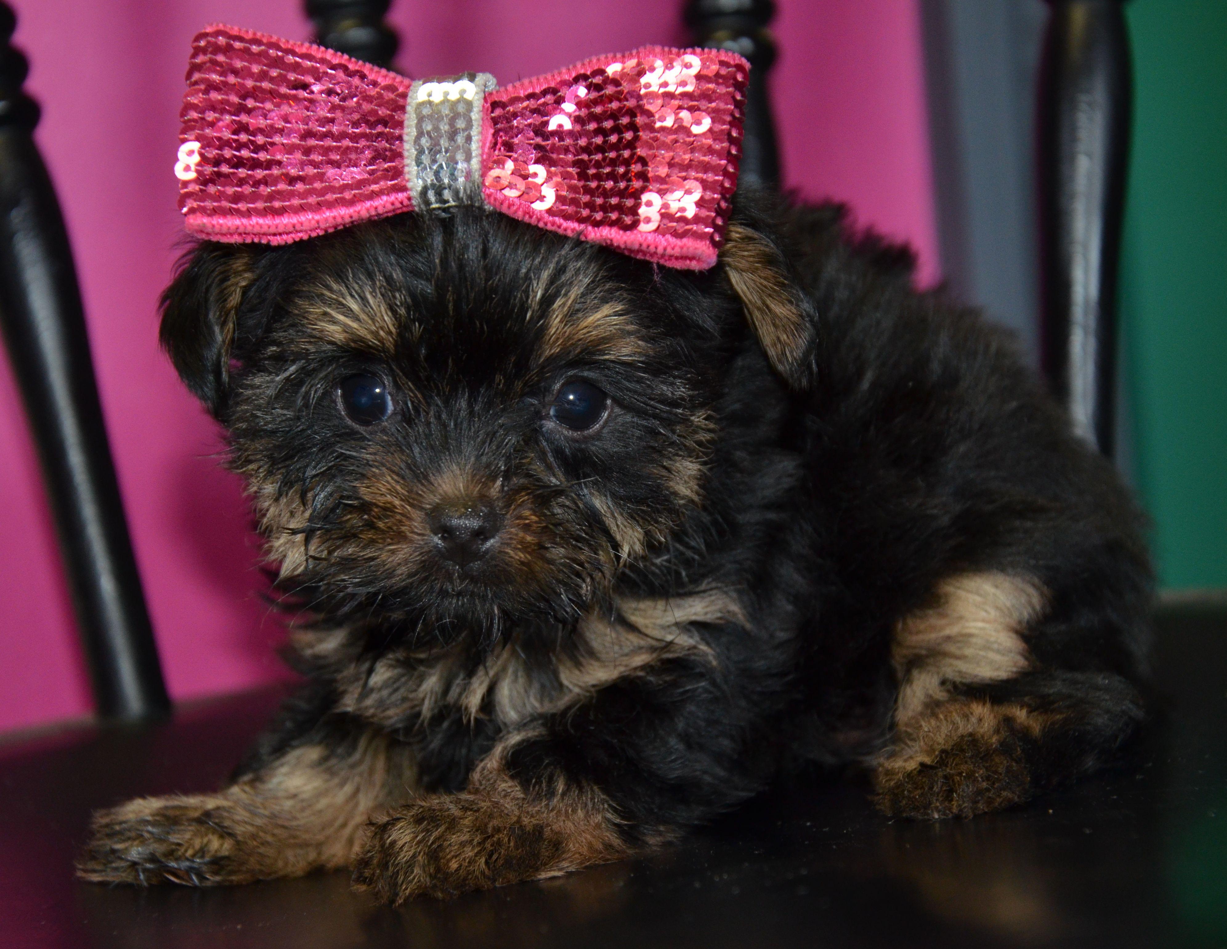 Www Toysandteacups Com Dorkie Female Puppy For Sale Furry