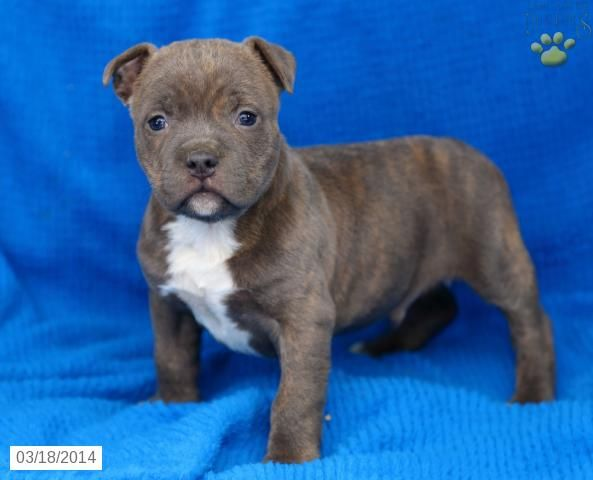 American Bullies Puppies For Sale Lancaster Puppies American Bulldog Puppies Lancaster Puppies Bulldog Puppies