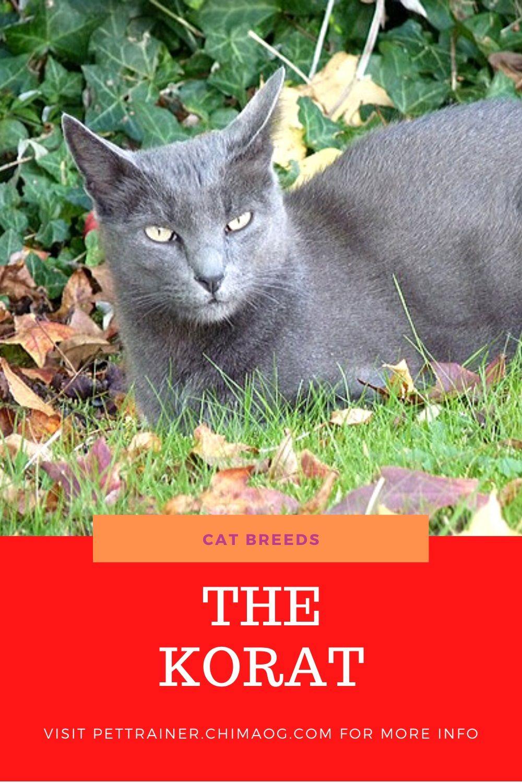 Korat Cat Breeds In 2020 Cat Breeds Korat Cat Cats