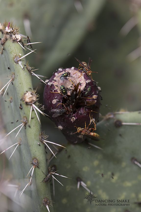 """bitter fruit"" – This Prickly Pear cactus fruit was STUFFED with wasps, bees, and other various critters. Any animal taking a bite of this would get a very painful surprise. ©R.C. Clark: Dancing Snake Nature Photography All rights reserved Box Canyon #arizona, #nature, #photography, #dancingsnakenaturephotography, #insects, #bees, #fruit, #BoxCanyon"