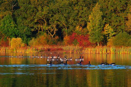 'Wildgänse auf dem Natursee' von Tanja Riedel bei artflakes.com als Poster oder Kunstdruck $20.79