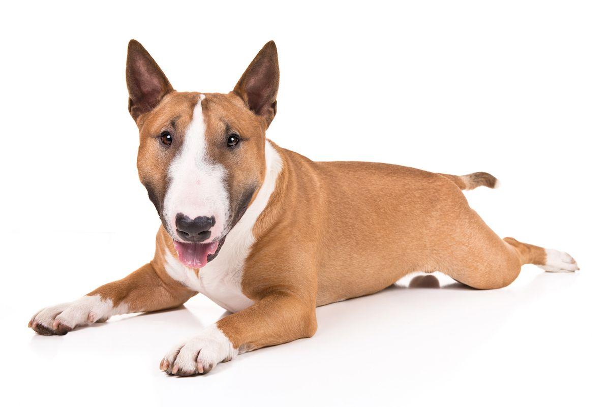 Miniature Bull Terrier Dog Breed Information Terrier Breeds Miniature Bull Terrier Every Dog Breed