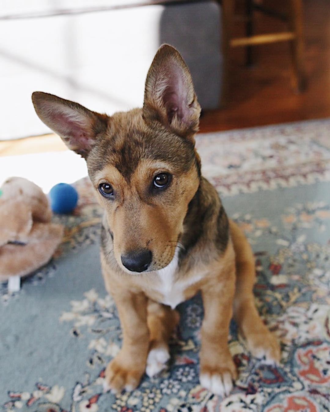Corgi German Shepherd Mix Corgi Mixed Dogs Hybrid Puppies