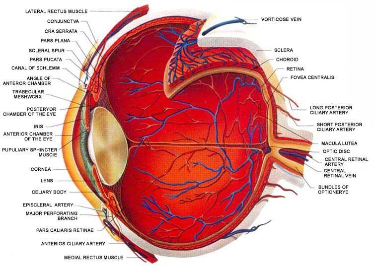 Basic Eye Anatomy Ophthalmology Health Health Remedies Remedies