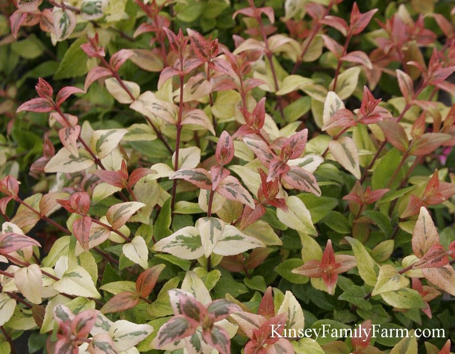 Kinsey Family Farm Kaleidoscope Abelia Outdoor Evergreen Shrubs