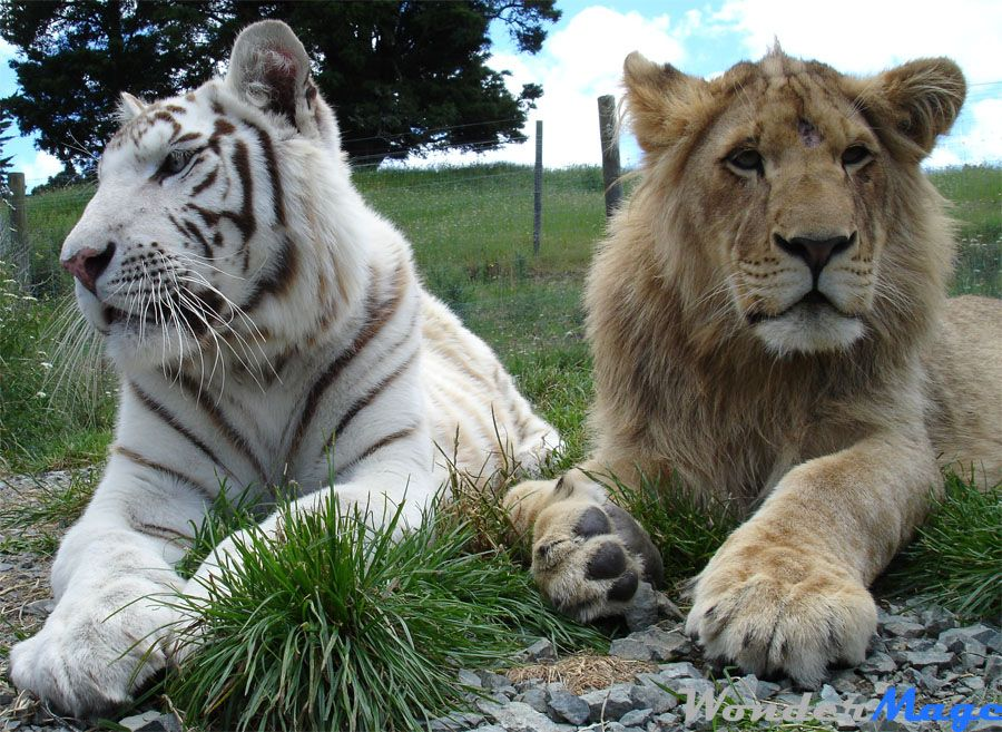 tiger and lion images  White Tiger and Lion | I Like This | Pinterest | Tigers, Lions and Cat