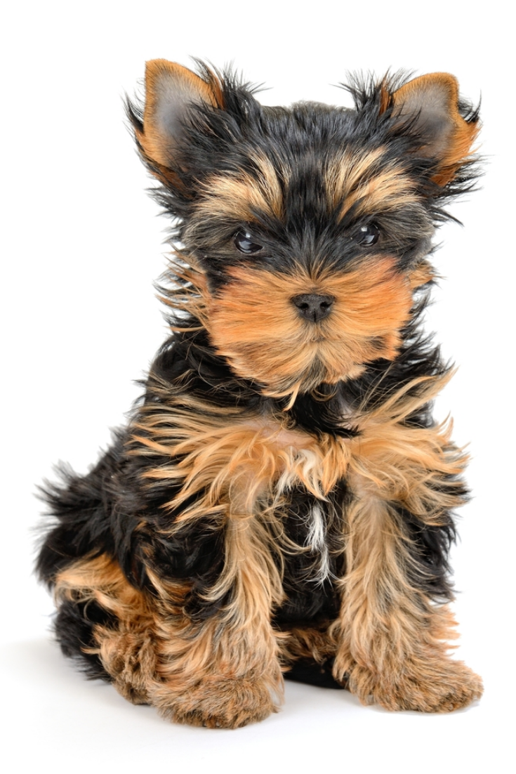 Yorkshire Terrier Puppy The Age Of 3