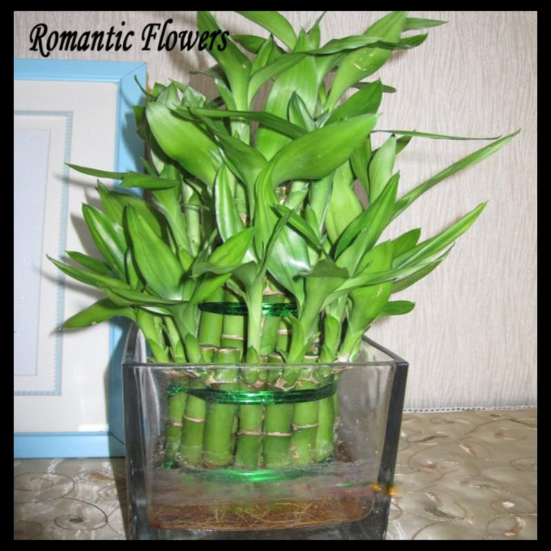 Popular Lotus Bamboo Plant-Buy Cheap Lotus Bamboo Plant lots