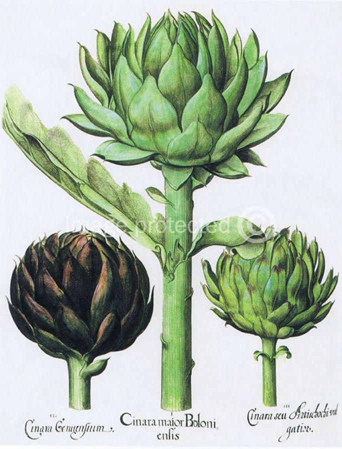 Globe Artichoke Basilius Besler Botanical Poster 24x36