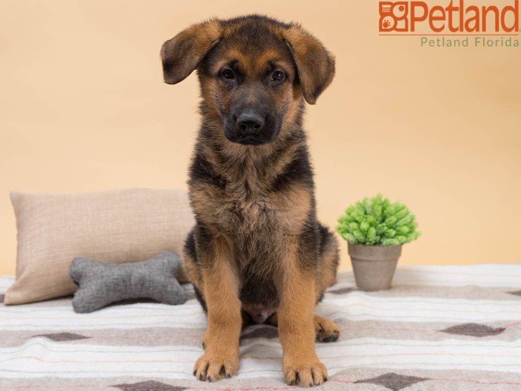 Puppies for sale puppies dog lovers german shepherd
