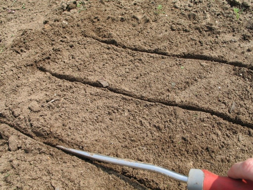Planting Carrot Seeds Creating Grooves For Seeding Picture