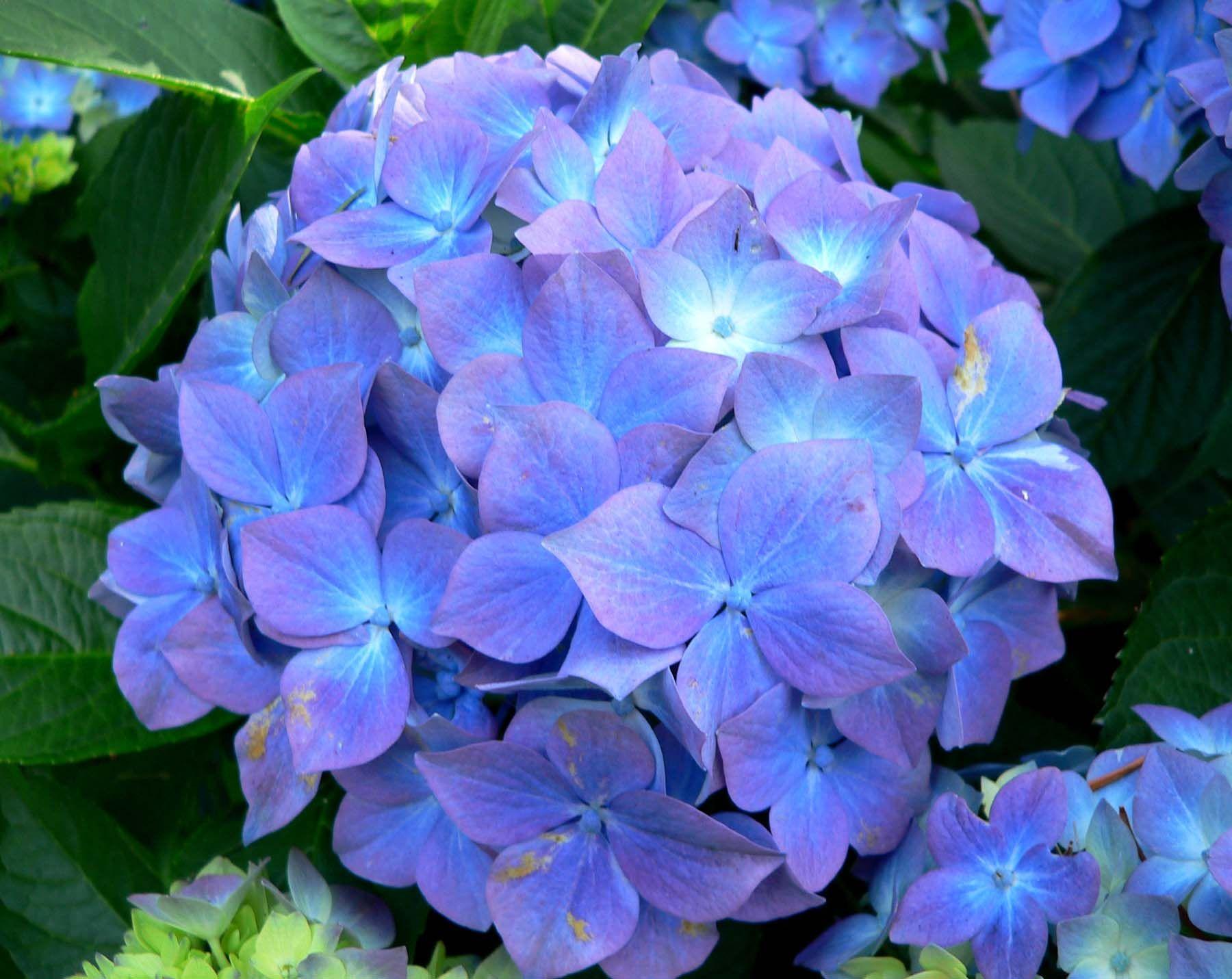 1800x1431 梅雨 の あじさい が 美しい壁紙 紫陽花 壁紙