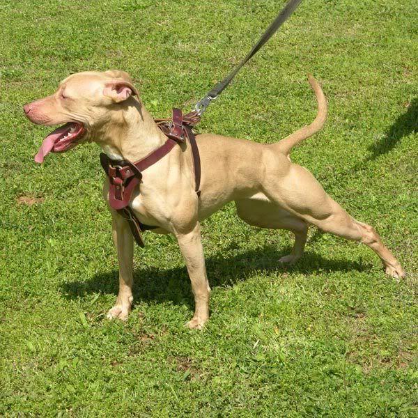 Side View Of Pitbull American Pitbull Terrier Pitbull Terrier