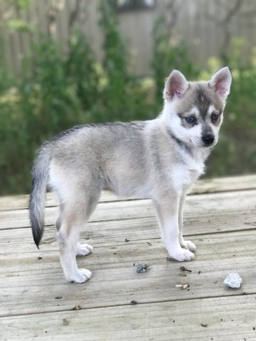 Alaskan Klee Kai Puppy For Sale In Republic Mo Adn 39581 On