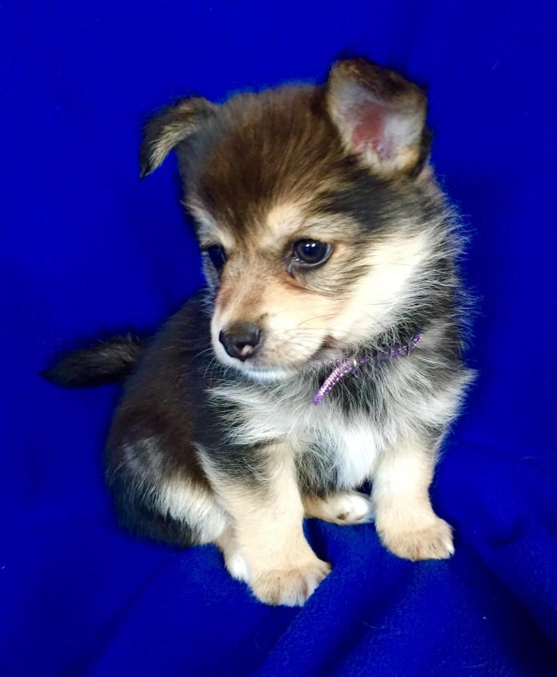 Meet Jill A Petfinder Adoptable Yorkshire Terrier Yorkie Dog Encino Ca Meet Jill 8 Week Old Yorkie Pomeranian Mix Born At Los Angele Dog Food Yorki
