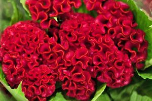 Brain Flower Seeds Red Velvet Tropical Bushy Plant 10 Seeds Ebay Flower Seeds Flowers Bloom And Wild