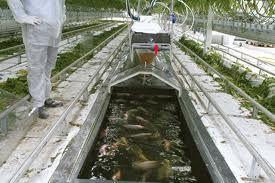 Aquaponics Fish for Hydroponics | Check out my personal Aquaponics project at www.davaoaquaponics.com