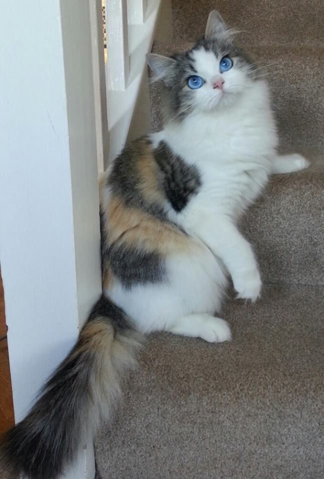 10 Cats Who Made Hilariously Poor Decisions Beautiful Cats Pretty Cats Ragamuffin Cat