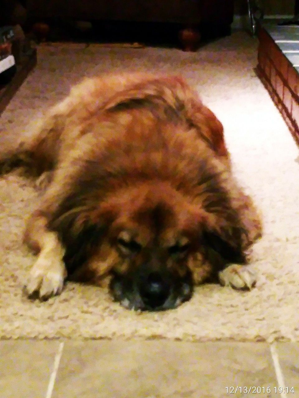 Paddy Male Chow Shepherd Mix Chow Chow Dogs Animals