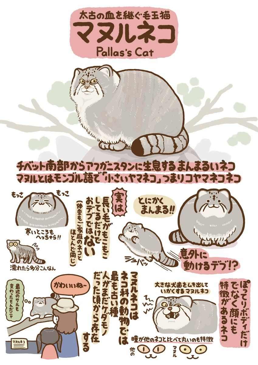 Pin By Pretty On Animal Graphic マヌルネコ 動物 図鑑 動物 おもしろ