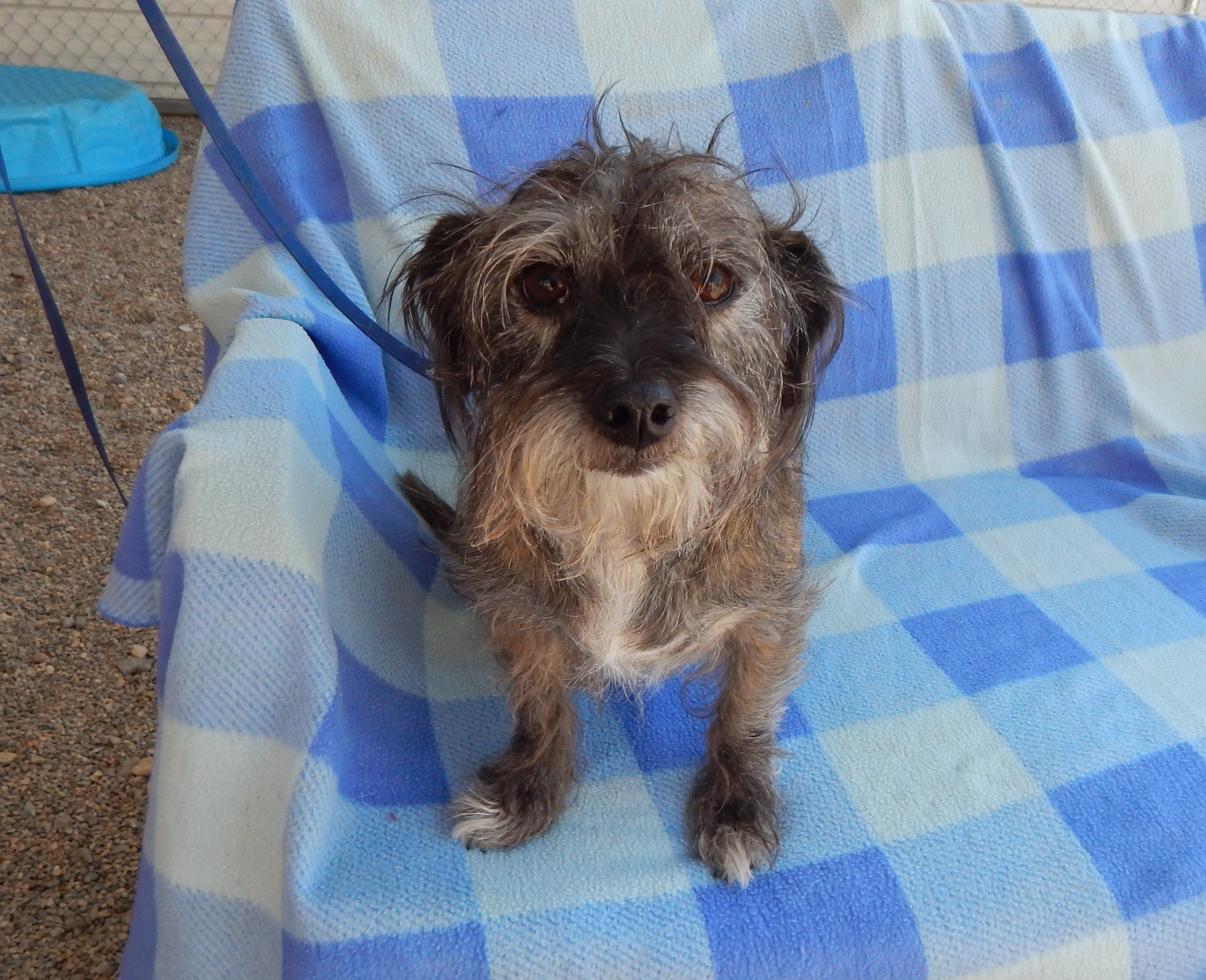 Adopt Indy on Terrier mix dogs, Animal shelter, Lhasa apso