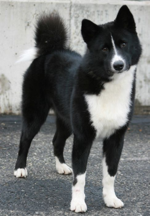 karelian bear dog are some of the coolest dogs in the ...
