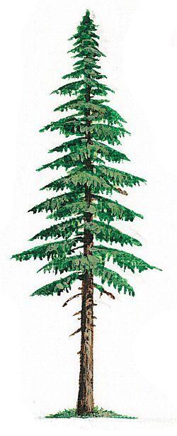 Washington State Capitol Moon Tree |Washington Evergreen Trees
