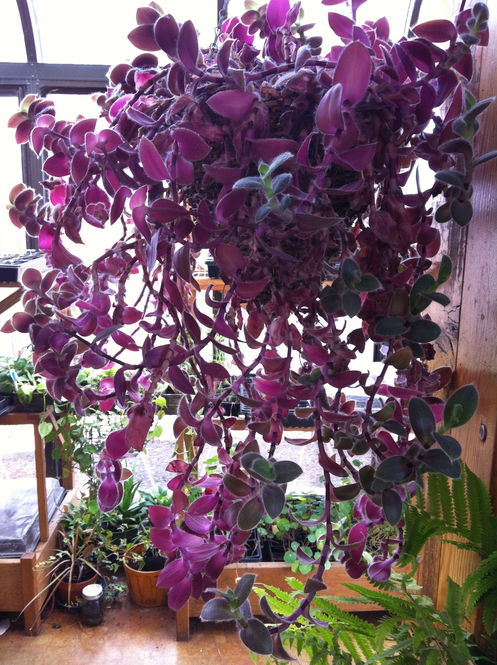 house plants i want purple wandering jew - Flowering House Plants Purple