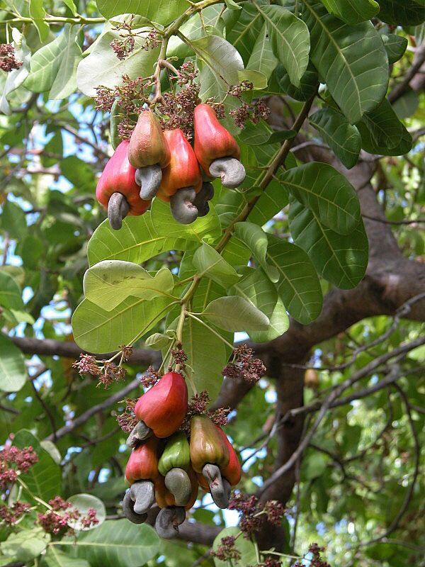 Ever wonder why you don't see cashews in shells? they grow on Cashew Apples! In tropical regions, cashew trees produce a fruit called the 'cashew apple', the 'nut', the seed rather grows from the bottom of the fruit.