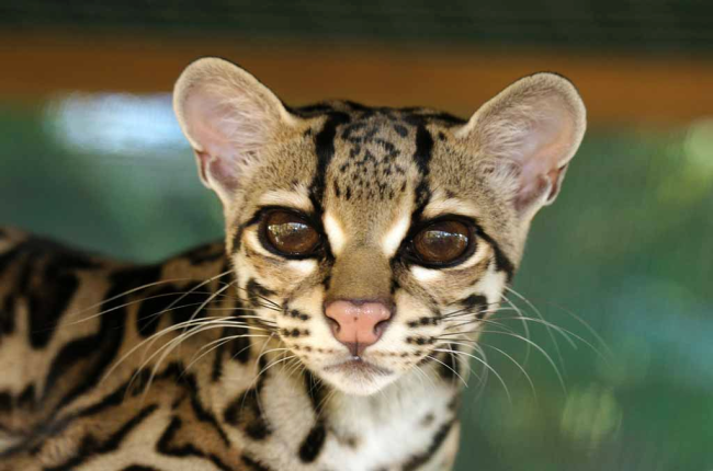 margay cat at la selva wildlife refuge costa rica we 39 ve gotta get out of this place. Black Bedroom Furniture Sets. Home Design Ideas