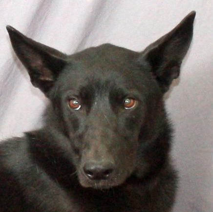 Ebony Ca Kitten Adoption Dog Adoption Australian Kelpie