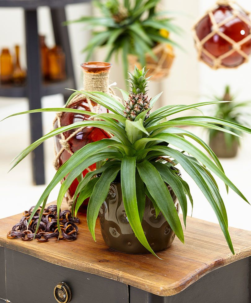 Kitchen Garden Jupiters: Pineapple Plant €�Corona' Product Photo