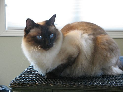Pictures Of Balinese Cat Balinese Cat Cat Facts Cats