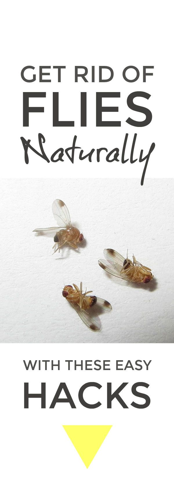 Get Rid Of Flies Naturally Get Rid Of Flies Green Solutions Natural Cleaning Solutions