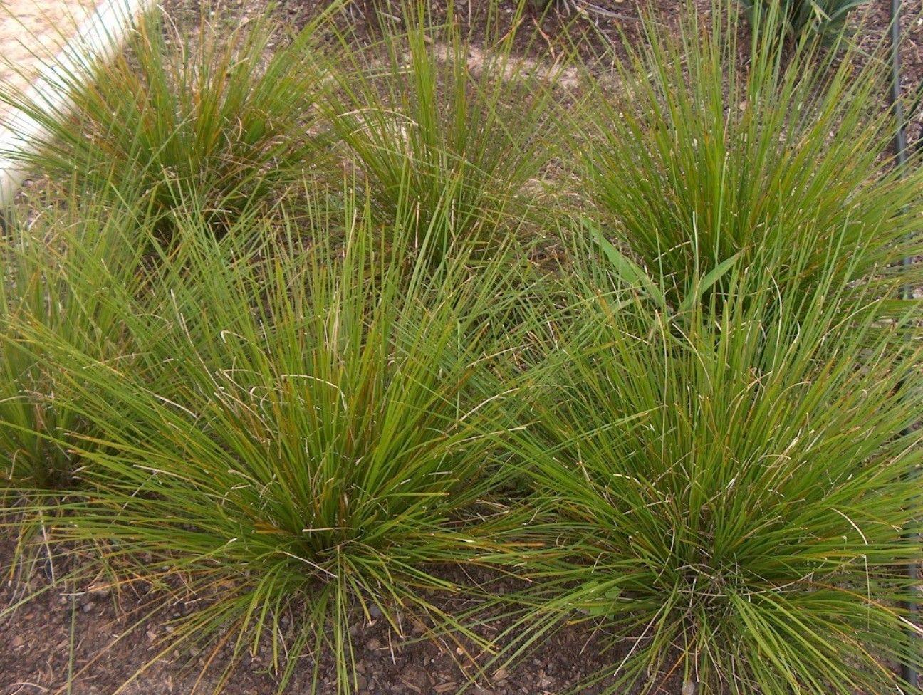 Lomandra Longifolia Breeze Lomandra Backyard Plants Low Growing Shrubs
