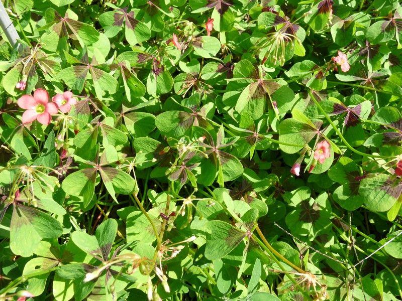 http://faaxaal.forumgratuit.ca/t1817-photos-de-fleurs-oxalide-a-quatre-folioles-faux-trefle-a-quatre-feuilles-oxalis-deppei-oxalis-tetraphylla-four-leaf-pink-sorrel