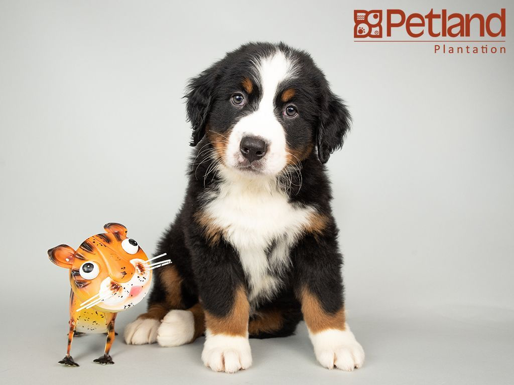 Puppies For Sale Petland Florida Puppy Friends Puppies For Sale Puppies