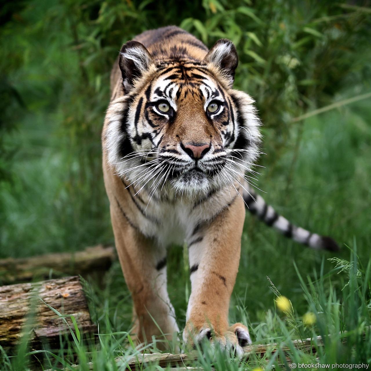 A Beautiful Female Sumatran Tiger Named Puna At Whf Big Cat Sanctuary Brookshaw Photography Big Cats Baby Animals Pictures Cat Sanctuary