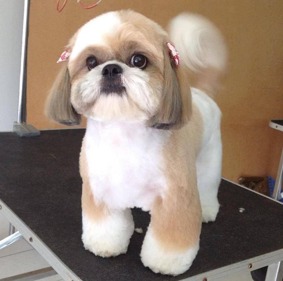 Shih tzu haircut styles repinned shih tzu shihtzu  shih tzu  pinterest  dog animal and
