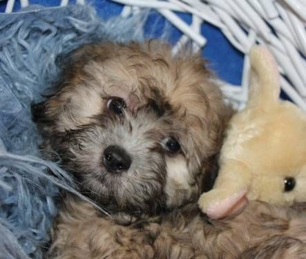 Toby Precious Shih Poo Male Puppy 10 Weeks Old Shihpoo Puppies Shih Poo Furry Friend
