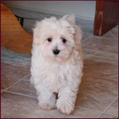 Adult Maltipoo Once They Have Noticed That You Are Welcoming In