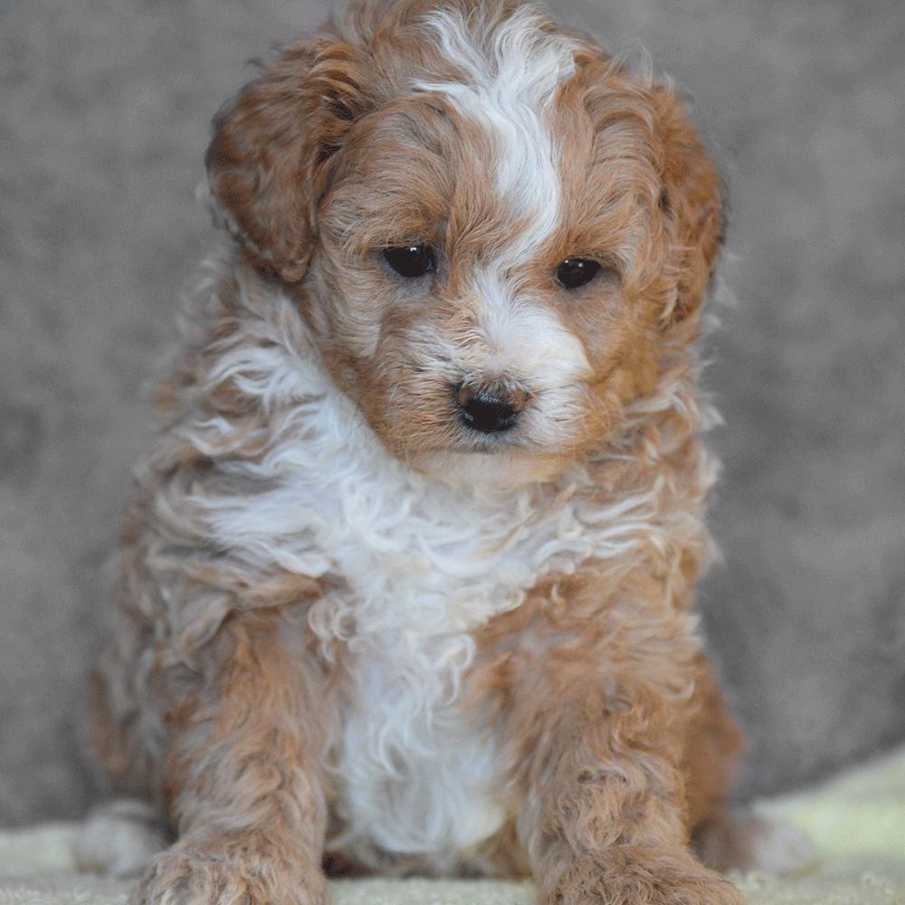 Cavapoo puppy Hypoallergenic Cavalier King Charles