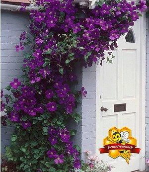 Clematis The President,1 Pflanze