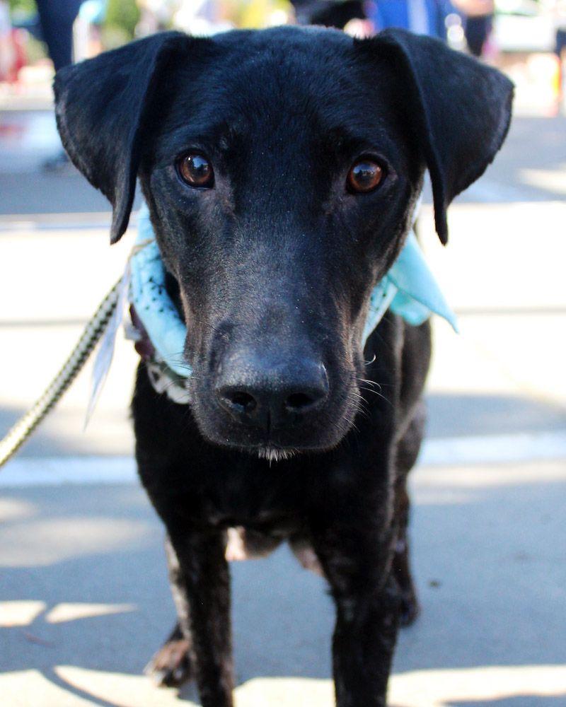 Borador dog for adoption in san diego ca adn440201 on