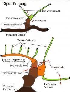 Pruning Grapevine Another Diagram A Grapes Grape Vines