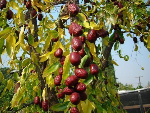 Planting A New Jujube Tree Jujube Tree Fruit Trees Gardening Zones