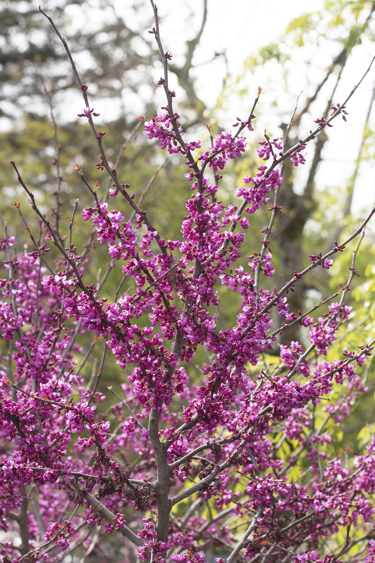 Forest Pansy Redbud Small Urban Garden Pansies Early Spring Flowers