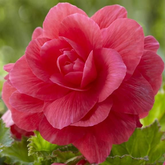 Begonia Double Roseform Pink Types Of Flowers Flowers Flowers Perennials