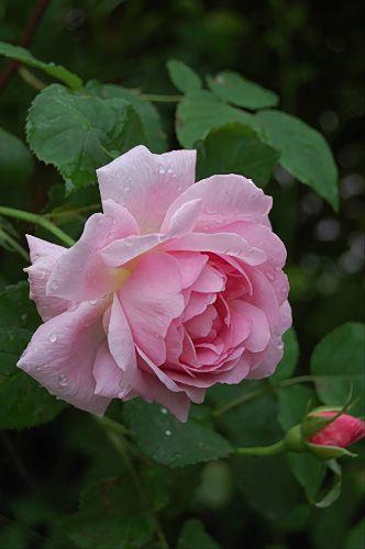 English Shrub Rose Rosa Constance Spry U K 1961 With